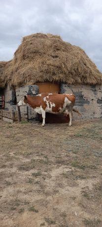 Срочно!Продам дойную корову с теленком!!!