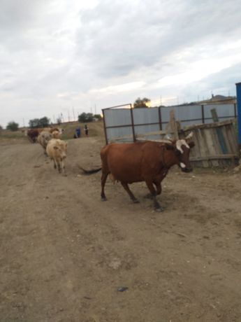 Продам корову в г. Алга