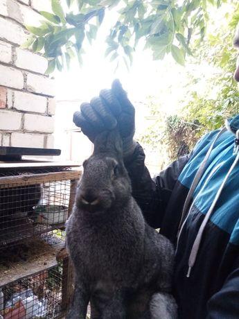 взрослые кролики 7-8мес