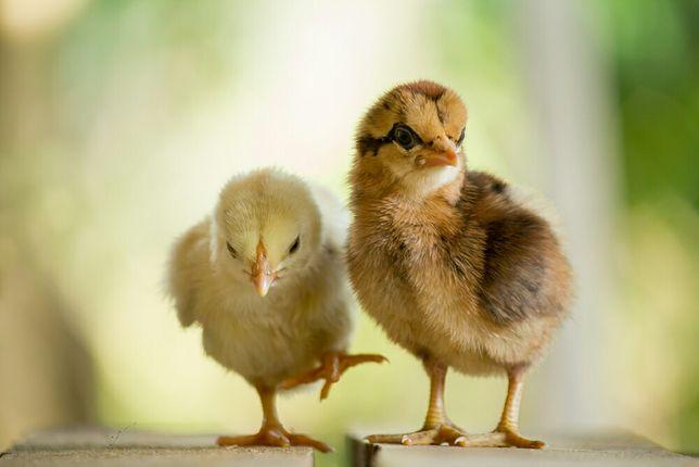 цыплята домашних курей