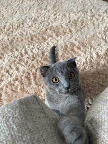 Продам шотландскую кошку с когтеточкой
