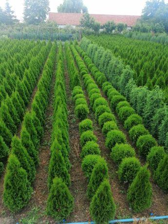 Amenajări Grădini și spații verzi! Tuia, Leylandii, Gazon, arbori, etc