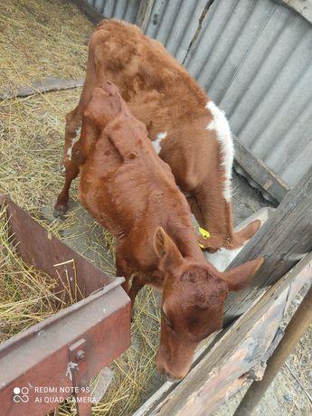 Продам двух телят молочной породы