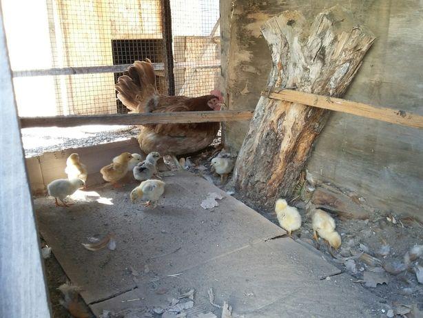 Квочка ломан браун с цыплятами. Доставка