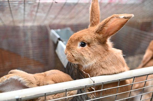Зайчета и заешко месо от малка домашна ферма в гр Видин