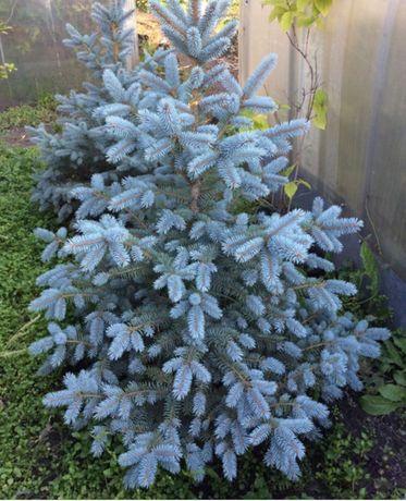 Голубые канадские ели
