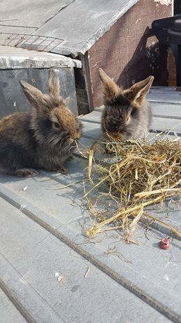 Vand iepuri pitici cap de leu
