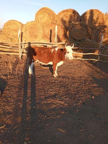 Продам корову .сиыр сатылады бир туган