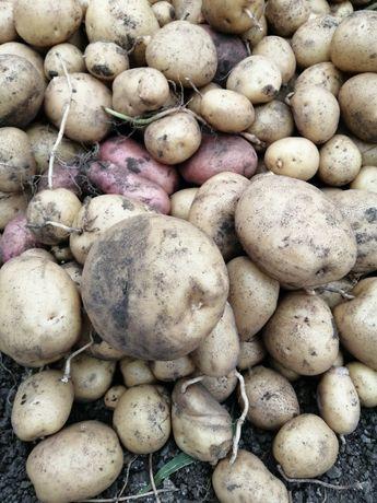 Продам дачный картофель