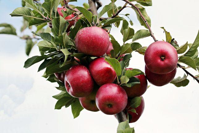 Распродажа саженцы   яблонь 8500