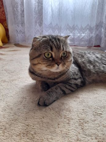 Вязка кота вислоухий скоттиш фолд