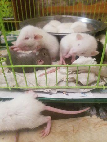 Крысики