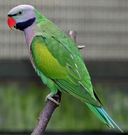 Продам Самца Китайского Благородного попугая (Psittacula Derbiana).