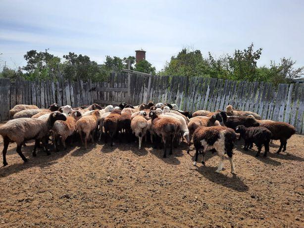 Продам овец 45 голов