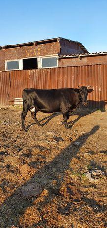 Продам корову  на мясо