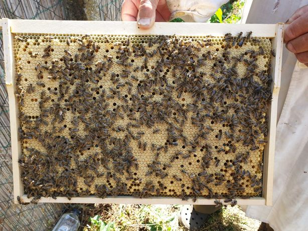 Familii si roiuri de albine