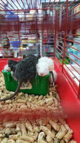 Крысята в наличии