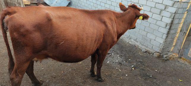 Продам корову красной масти