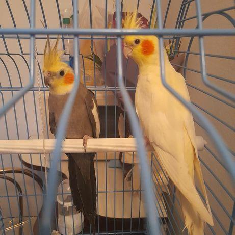 papagali nimfa tanara