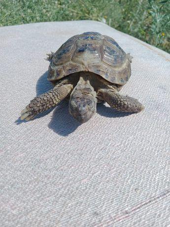 Срочно продам черепаху