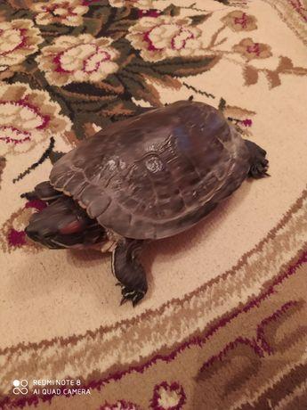 Продам черепаху девочка 15лет
