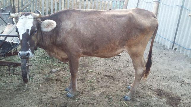 Кунажын (Корова)