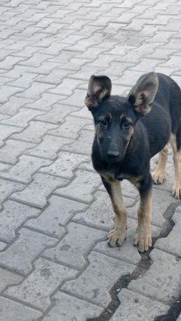 Продается щенок восточной европейской овчарки