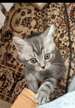 Котенок Британец отдам вместе лоточек и миску