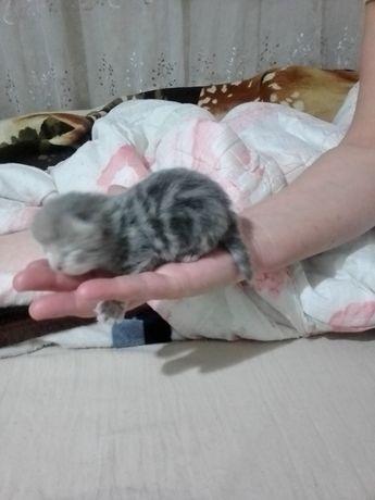 Скотиш фулд котята