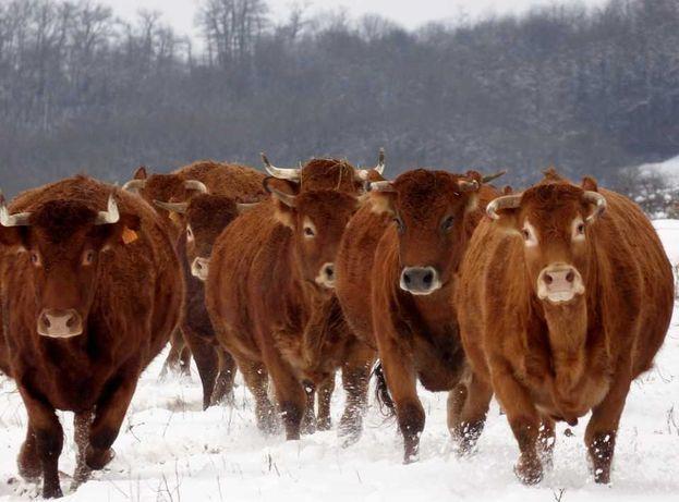 Oптом коров стельных с телятами, быков, 23 шт по 530$