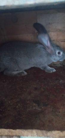 Продам хороших крольчат пароды фландэры