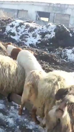 Bălegar de capră oaie sau vacă ros(mraniță)