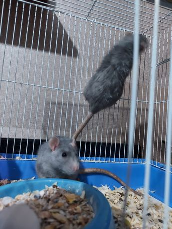 Продам крысок дамбо- рксы