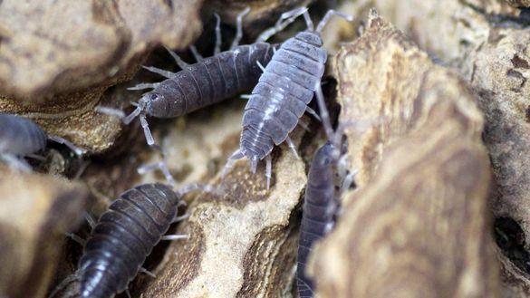 Изоподи- чистачи (Porcellionides pruinosus)