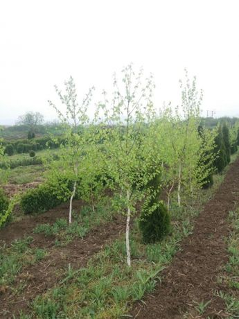 Mesteacăn magnolie de mai multe specii