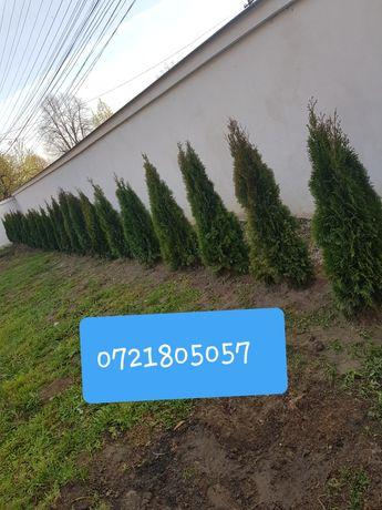 Tuia smarald/columna/barbant/lylandri/mesteacăn/tei/platani/Stejar/etc