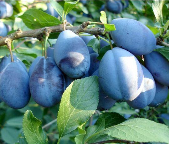 Pomi  fructiferi altoiti categ.a-2-a
