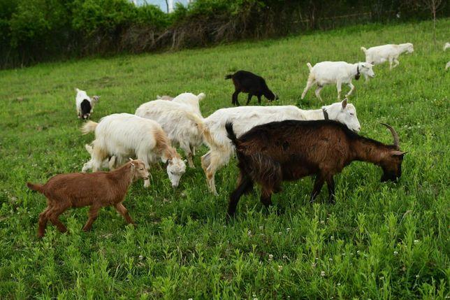 Brânză de capra si lapte de capra