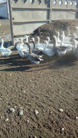 Продам  взрослых гусей