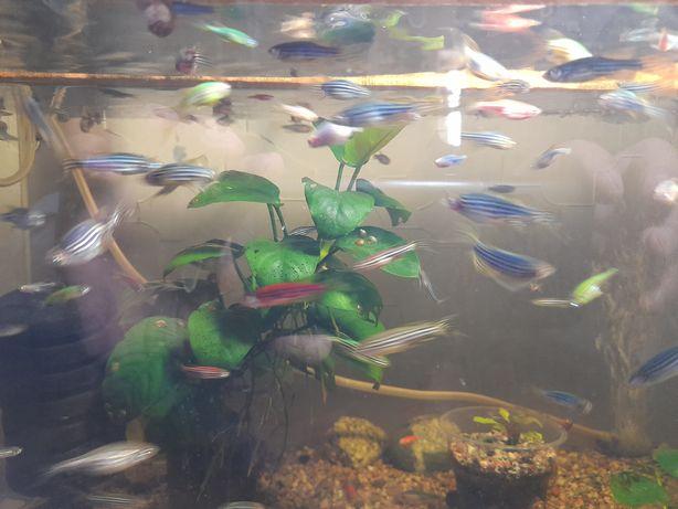 Рыбки Данио,  продам. Разноцветные. 100шт.