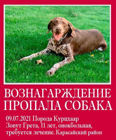 Пропала собака порода курцхаар