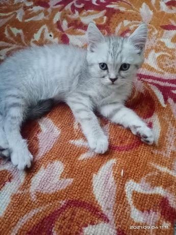 Продам котят Шотландских Скоттиш Страйт