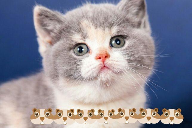 Распродажа породистых котят в связи с закрытием питомника