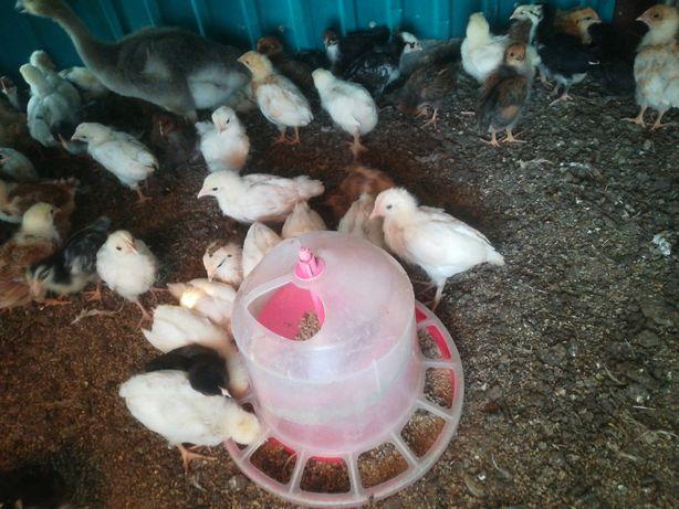 Цыплята домашние месячные
