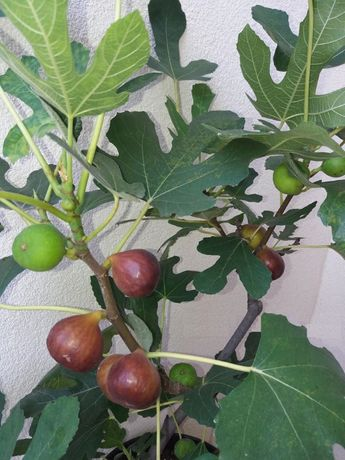Smochin Românesc cu Fruct Maro Craiova