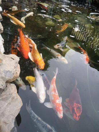 езерни риби кои и комети