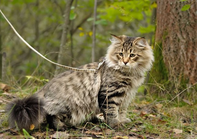 Норвежский лесной котенок котята