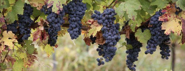 Struguri de vin  , soi nobil