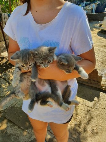 Donez trei pisicuțe