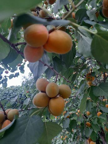 Продам местный абрикос
